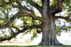 a oak