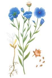 a flax