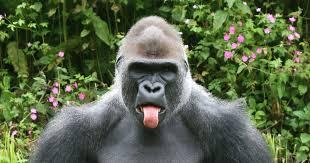a gorilla 3