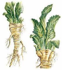 a horseradish