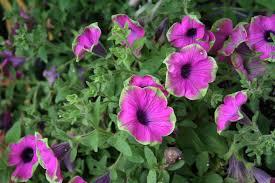 a petunia