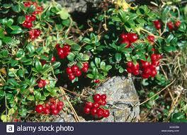 a cranberry